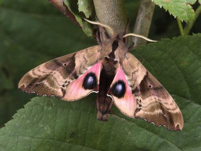 Borboleta-esfinge cega, que exibe olhos falsos nas asas para intimidar predadores - foto de George-Grall